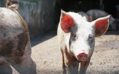 Baker Farms' Fresh Pork
